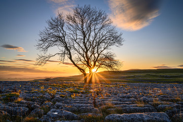 Sunstar at Malham Lings Lone Ash Tree, above Malham Village in the Yorkshire Dales where there is an area of Limestone Pavement known as Malham Lings