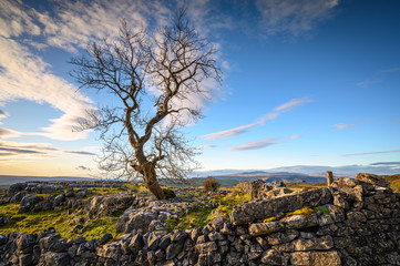 Large Single Tree at Winskill Stones, which is a nature reserve above the village of Langcliffe in the Yorkshire Dales and home to a section of Limestone Pavement