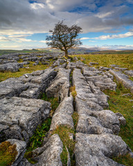 Portrait of Lone Hawthorn Tree at Winskill Stones, which is a nature reserve above the village of Langcliffe in the Yorkshire Dales and home to a section of Limestone Pavement
