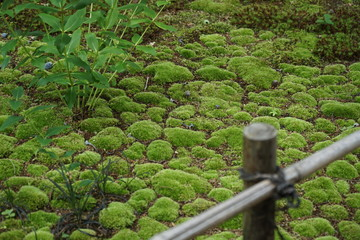 moss and small bamboo fence in a japanese garden