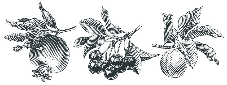 Cherries,  pomegranate and apricot set. Hand drawn engraving style illustrations.