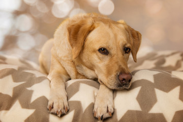 Labrador retriever dog lying on a blanket and looking to camera