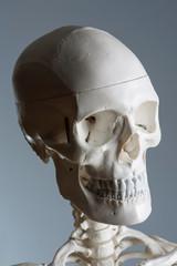 Schädel von Schulskelett aus Kunststoff, lebensecht, im Medizinstudium und in der Physiotherapeutischen Ausbildung