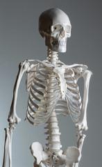 Skelettmodell für Medizinstudium und physiotherapeutische Ausbildung