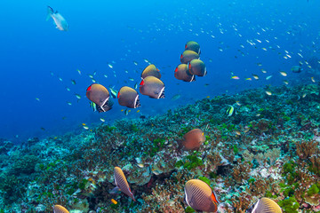 Poster Coral reefs A school of Red-tail Butterflyfish on a tropical coral reef