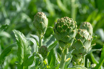 Farm field with green artichoke plants with ripe flower heads ready to new harvest