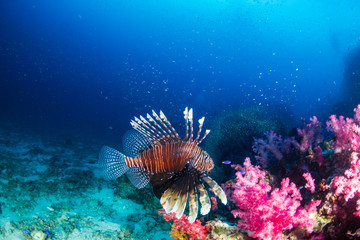 Lionfish on a dark tropical coral reef in Thailand