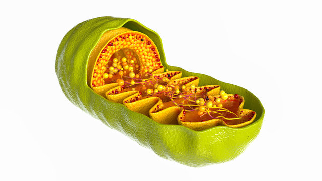Mitochondria cell on white background - 3D Rendering