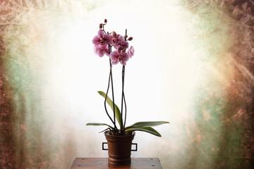 Orchidea maculata fucsia