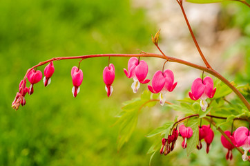 pink bleeding heart blossoms in garden