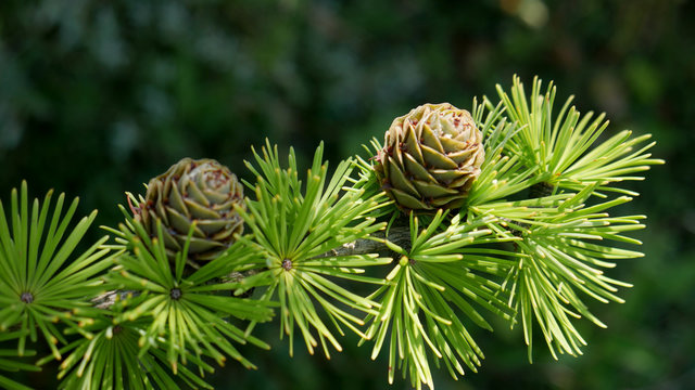 Bright green fluffy branches with cones of larch tree Larix decidua Pendula in summer day. Natural beauty of elegant larch tree twig. Close-up branch of young larch as green spring background