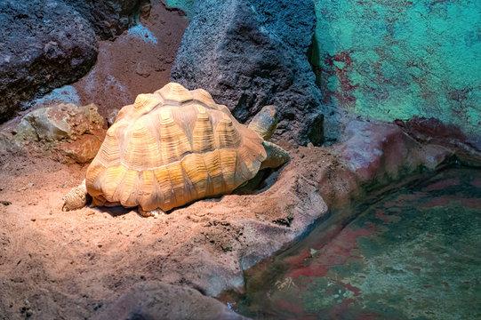 Aldabra tortoise near an azure wall