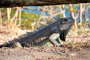Un iguane en Guadeloupe Antilles Française