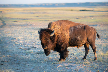 Fotorolgordijn Bison Bison in the prairies