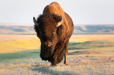 Deurstickers Bison Bison in the prairies