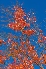 Red Leaves Against a Blue Sky