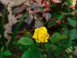 Download Yellow Rose wallpaper from the above HD Widescreen 4K 5K 8K Ultra HD resolutions for desktops laptops, notebook, Apple iPhone iPad, Android Windows mobiles, tablets. Yellow Rose is part of t