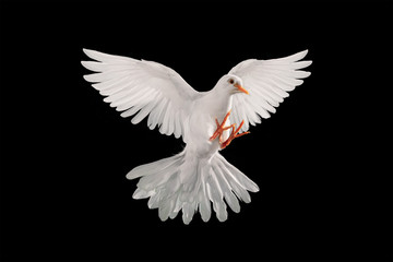 Canvas Print - White dove flying on black background and Clipping path .freedom concept and international day of peace