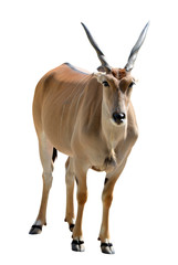 Common Eland antelope (Taurotragus oryx) isolated on white background. Savannah animal.