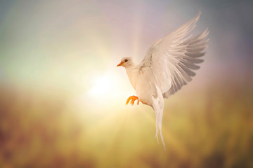 Foto En Lienzo - Soft style with White Dove flying on vintage pastel background in international day of peace concept