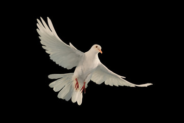Wall Mural - White dove flying on black background and Clipping path .freedom concept and international day of peace