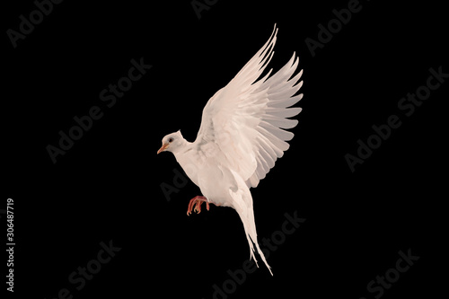 Canvas Prints White dove flying on black background and Clipping path .freedom concept and international day of peace