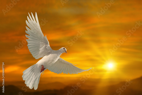 Foto em tela white dove flying on sky in beautiful sunset light for freedom concept