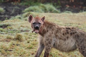 Fotobehang Hyena Bloody hyena feeding on bones.