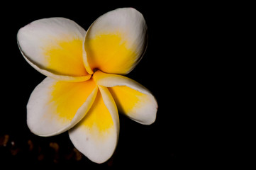 Photo sur Plexiglas Frangipanni Yellow plumeria are tropical trees famous on black background