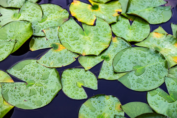 Stores photo Nénuphars Water lily leaves in lake