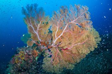 Keuken foto achterwand Koraalriffen Huge gorgonian Seafan on a tropical coral reef in the Andaman Sea