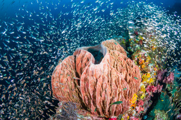 Wall Mural - A large sponge on a colorful tropical coral reef at Richelieu Rock
