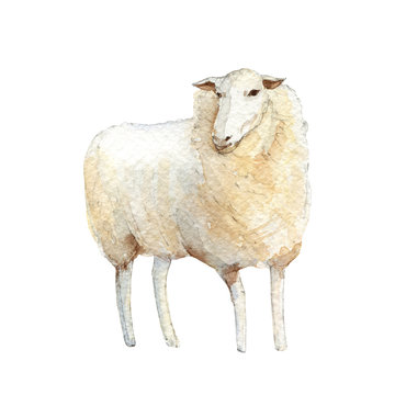 White sheep. Handpainted watercolor illustration isolated on a white background.