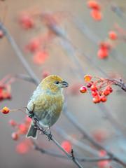 Pine grosbeak, Pinicola enucleator, female bird feeding on berries, beautiful autumn colors