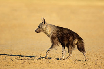 An alert brown hyena (Hyaena brunnea), Kalahari desert, South Africa.