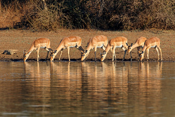 Fotobehang Antilope Impala antelopes (Aepyceros melampus) drinking water, Kruger National Park, South Africa.