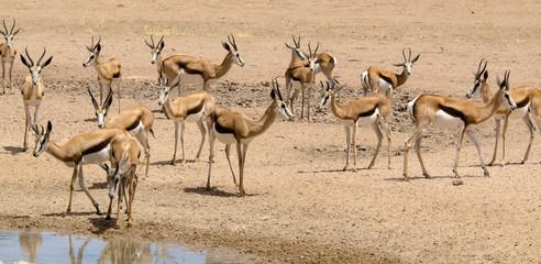 Garden Poster Antelope Springbok, Antidorcas marsupialis, Parc national Kalahari Gemsbok, parc transfrontalier de Kgalagadi, Afrique du Sud
