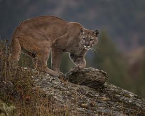 Printed kitchen splashbacks Puma Mountain Lion Dee Dee Triple D Montana USA