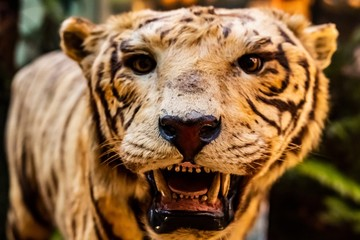 Fotobehang Tijger close up of stuffed tiger