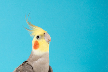 Cockatiel, Adorable parrot isolated on blue background, best parrot pictures. copy space