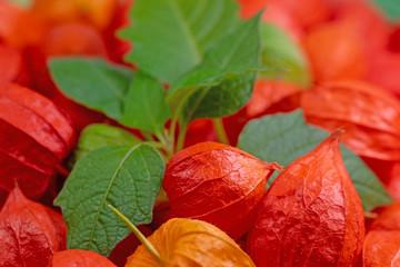 Früchte der Lampionblume, Physalis alkekengi
