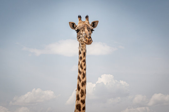 giraffe on a background of the sky