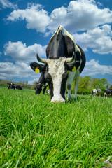Fototapete - Schwarzbunte Kuh grasend auf einer Wiese