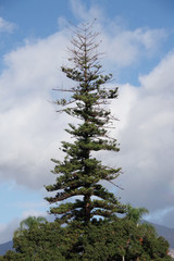 Close low angle view of an old tall Norfolk Pine seen against a blue sky with storm clouds coming in