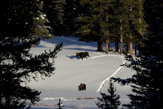 Bull and cow moose in snowy field