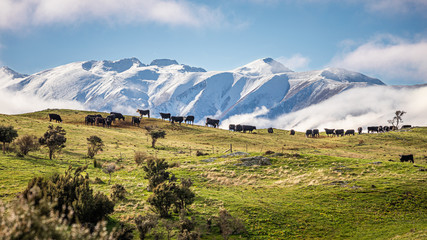 Cows grazing in front of snowy peaks in a winter clear day, South Island, New Zealand