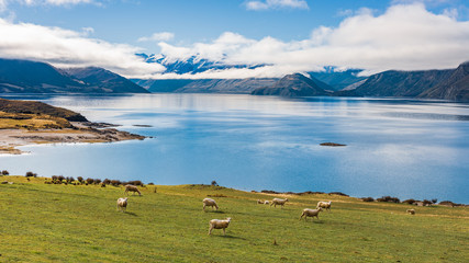 Sheep grazing on the shore of Lake Hawea at Lake Hawea Lookout, South Island, New Zealand