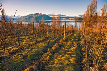 A vineyard overlooking lake Wanaka in a beautiful winter sunset, South Island, New Zealand