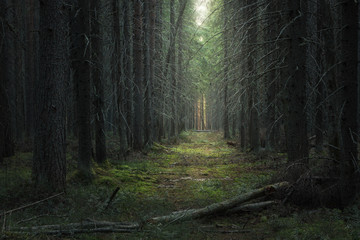 Fototapeten Straße im Wald path in the moody dark coniferous forest