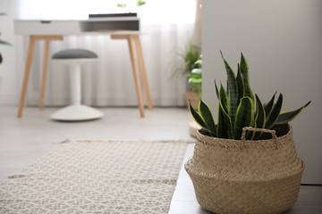 Beautiful green plant on floor in room. Home decoration